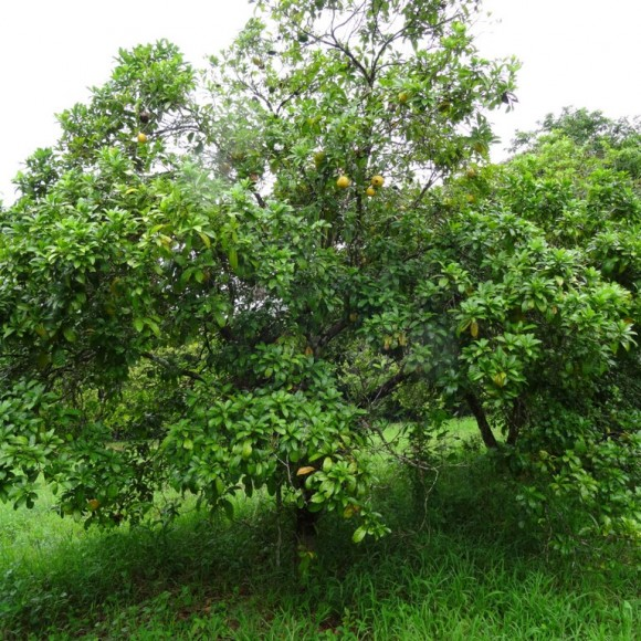 arbre en période de fructification