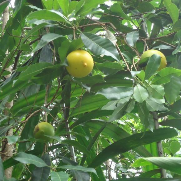 fruits sur l'arbre