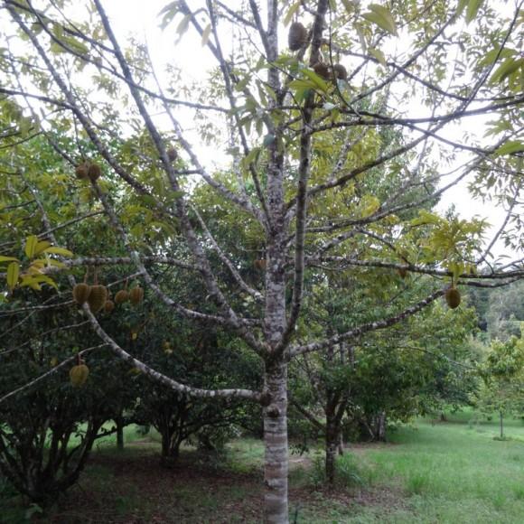 arbre en fructification
