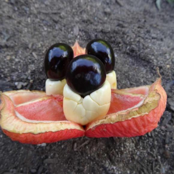 fruit ouvert laissant apparaître l'arille comestible