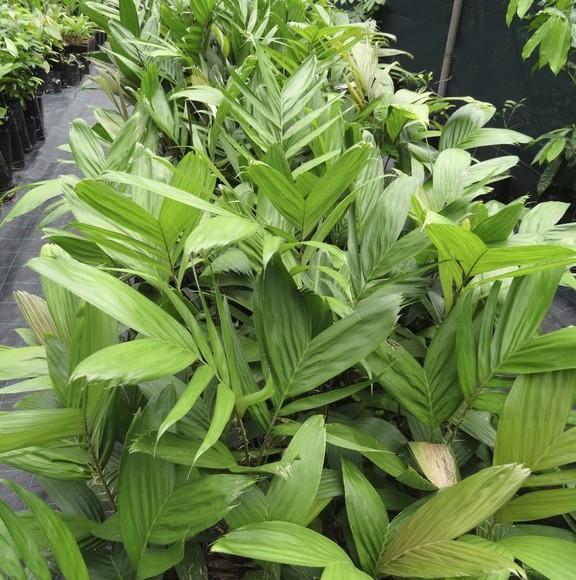 jeunes plants de salak