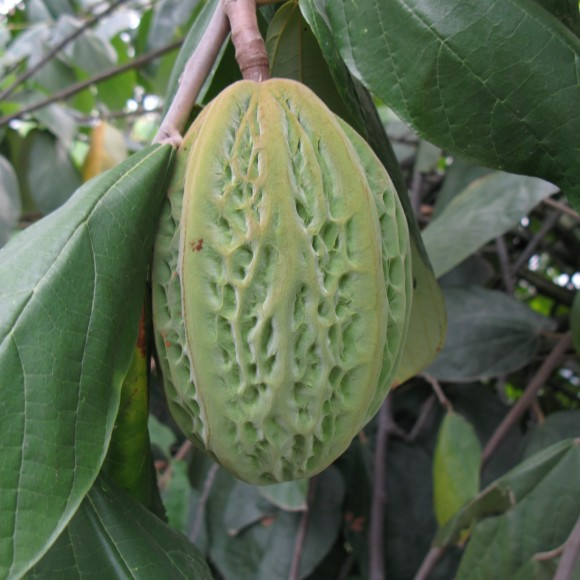 Cacao blanco