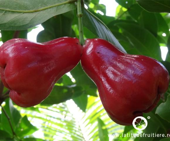 jamalac 'cloche rouge'